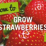 How to Guides Web Tiles-Strawberries3