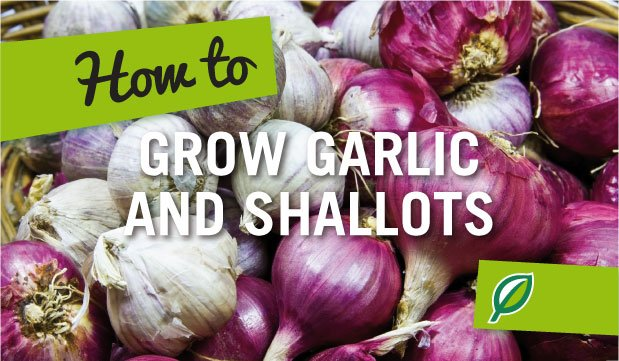 How To Grow Garlic And Shallots Palmers Garden Centre