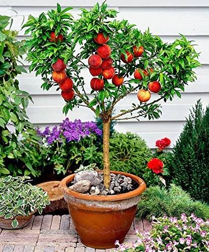 top 5 fruit trees for pots palmers garden centre. Black Bedroom Furniture Sets. Home Design Ideas