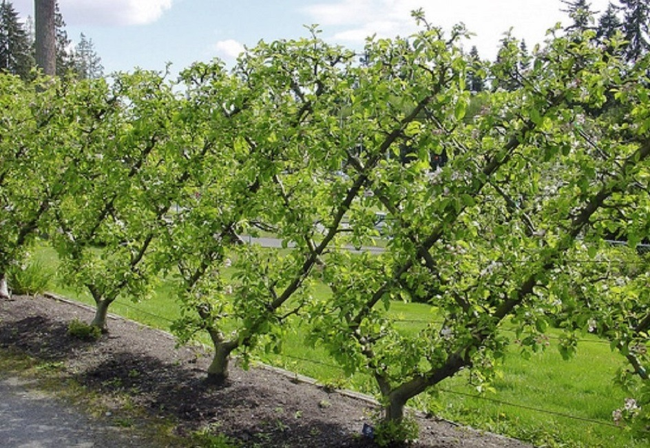 How to espalier fruit trees palmers garden centre for Garden trees types