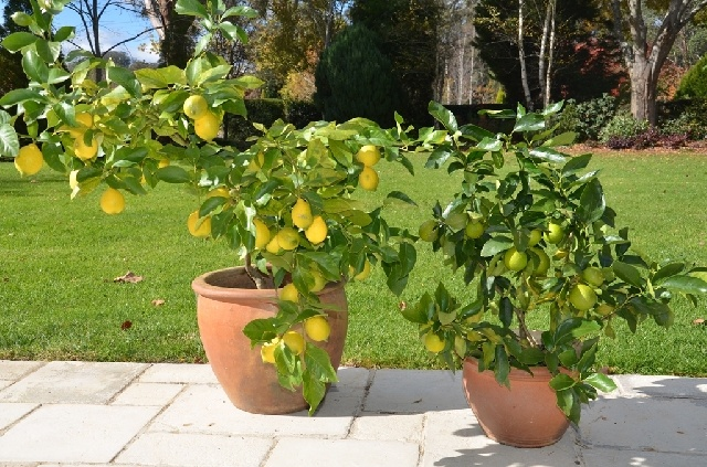 Fruit trees for pots