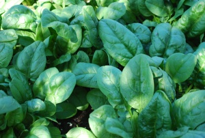 growing-spinach1-lg