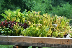 lettuce-mesclun-different-sizes