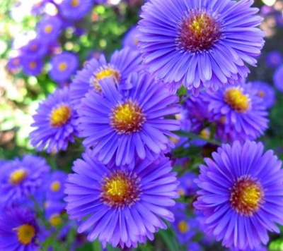 Annuals vs perennials whats the difference palmers garden centre arctotis aster dianthus mightylinksfo
