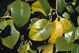 Symptoms Leaves Yellow And Or Develop Dark Purple Tone Slow Stunted Growth Remedy Fertilise With Butlers Azalea Camellia Rhododendron Food In Late