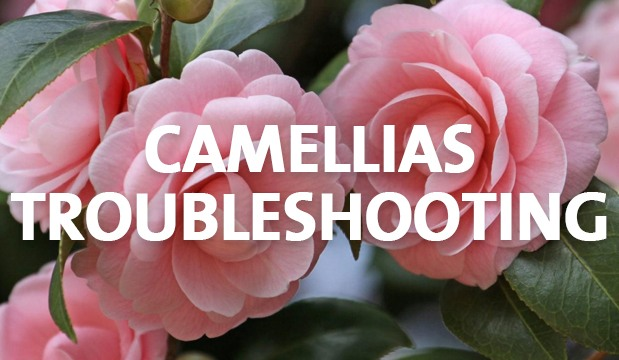 Camellias Troubleshooting