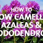 Camellias Azaleas and Rhododendrons