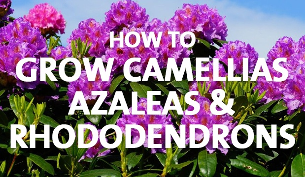 how to grow camelia from see