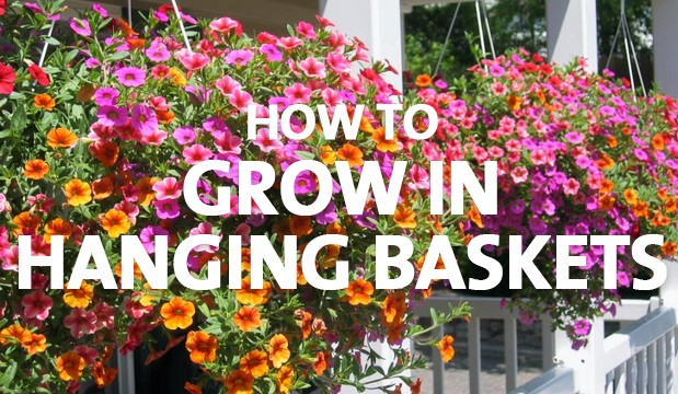 How to Grow in Hanging Baskets - Palmers Garden Centre