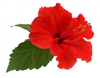 Growing Tropical Hibiscus What You Need To Know Palmers Garden