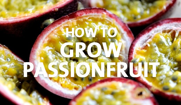How To Grow Passionfruit Palmers Garden Centre