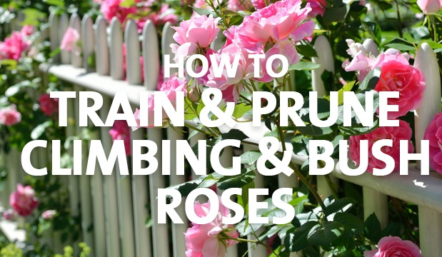 How To Train Amp Prune Climbing Amp Bush Roses Palmers