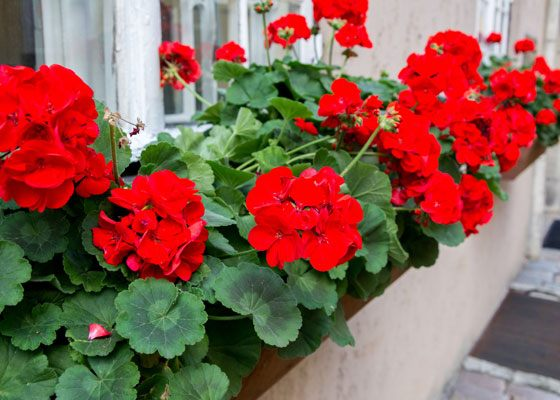 Buzz off! Plants that Repel Pesky Mosquitoes and Insects - Palmers