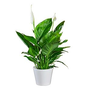 Peace lily - houseplants for your bathroom