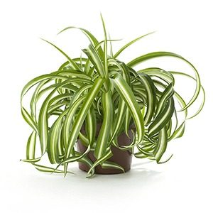Spider plant - houseplants for your bathroom