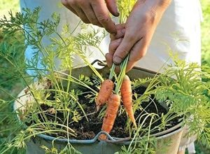 Carrot Planting in Container