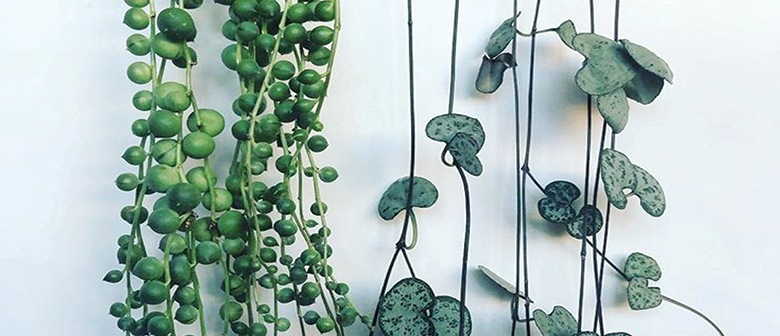 How To Care For String Of Pearls And Chain Of Hearts Palmers Garden Centre