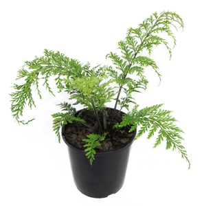 how to grow ferns