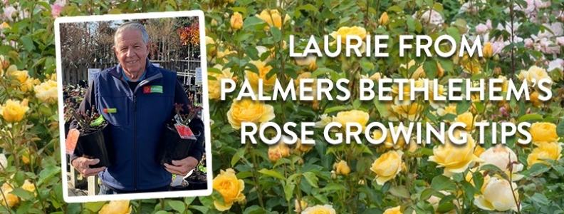 Ask a Palmers Expert: Laurie's rose growing tips