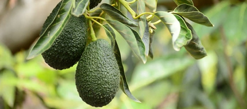 A Guide to Growing Avocados