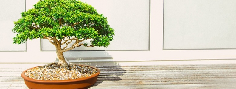 How To Take Care of Your Bonsai Tree