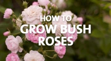 How to Grow Bush Roses