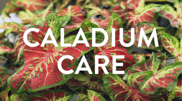 How to Care for Caladiums