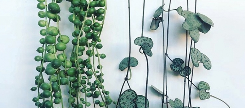 How to Care for String of Pearls and Chain of Hearts