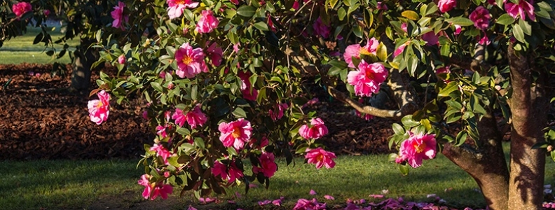 Camellias: varieties, care and choice
