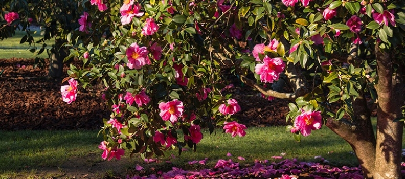 Camellias: Varieties, Choice and Care