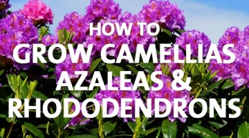 How to Grow Camellias, Azaleas and Rhododendrons