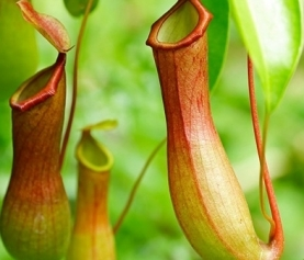 A Guide to Carnivorous Plants