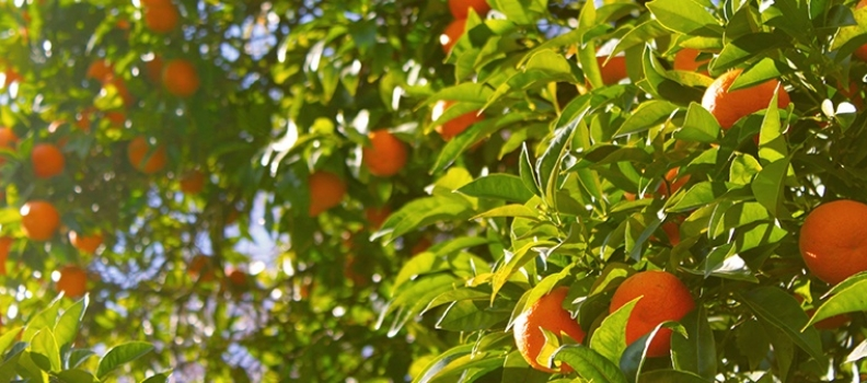 Citrus Care and Varieties