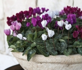 A Guide to Growing Cyclamen
