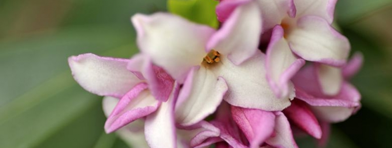 A Guide to Growing Daphne