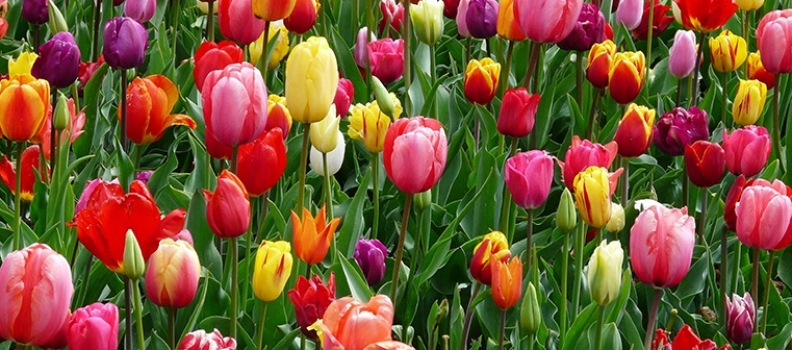 FAQs Spring Bulbs