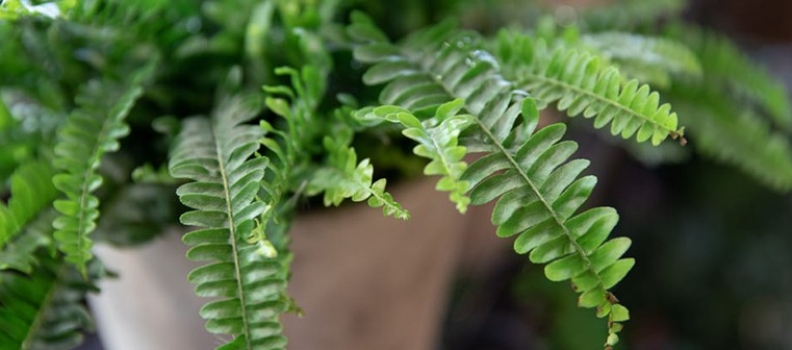 A Guide to Growing Ferns