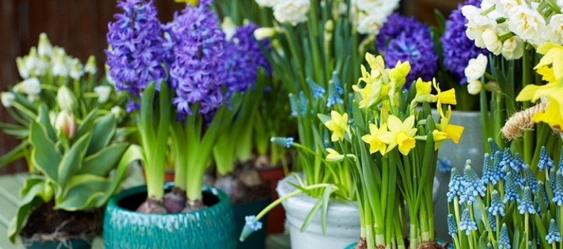 How to Grow Spring Bulbs Indoors