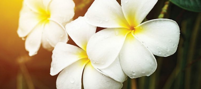 A Touch of the Tropics: Growing Frangipani