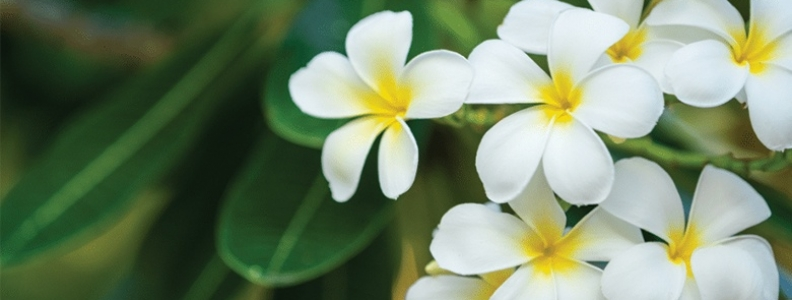 Touch of the Tropics: Growing Frangipani