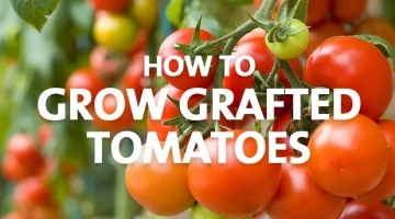 How to Grow Grafted Tomatoes