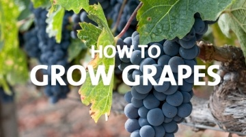How to Grow Grapes