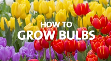 How to Grow Bulbs