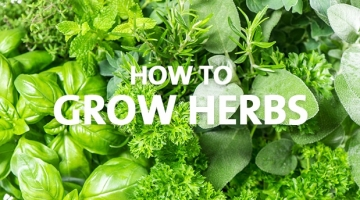 How to Grow Herbs