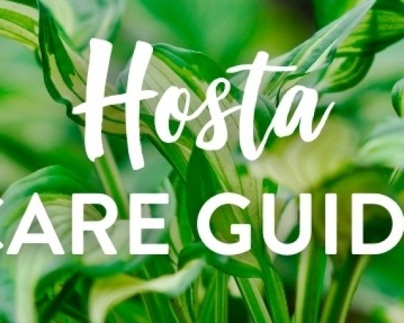Hosta Care Guide