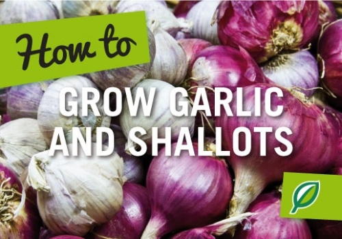 How to Grow Garlic and Shallots