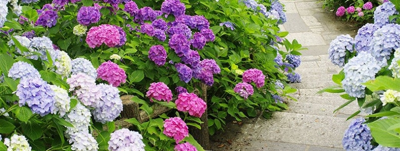 The Guide to Healthy Hydrangeas