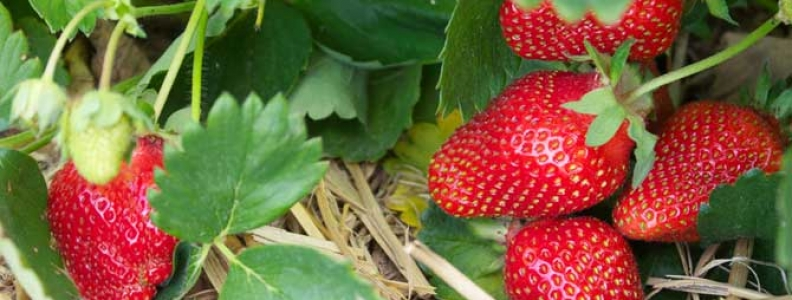 It's Time to Plant Strawberries!