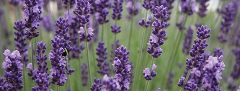 English, French and Spanish Lavender
