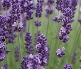 English vs. French vs. Spanish Lavender: What's the Difference?